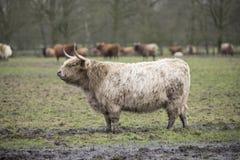 Schotse Hooglander, Bos taurus stock afbeelding