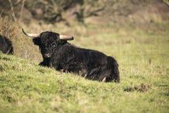 Schotse Hooglander, Bos taurus stock fotografie