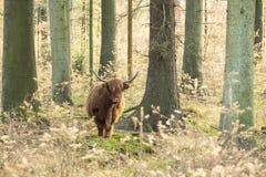 Schotse Hooglander, Bos taurus royalty-vrije stock foto