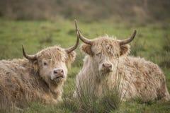 Schotse Hooglander, Bos taurus stock foto's