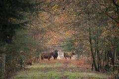 Schotse Hooglander, Bos taurus royalty-vrije stock afbeeldingen