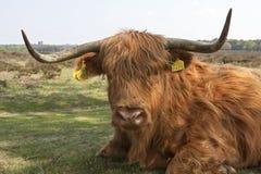 Schotse Hooglander, Górska krowa zdjęcia royalty free