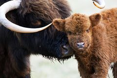 Schotse Hooglander, Highland Cow royalty free stock images