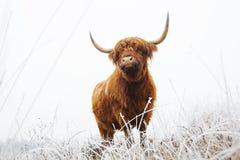 Schotse Hooglander, Highland Cow, Bos taurus ss. Schotse Hooglanders in natuurgebied de Delleboersterheide, Highland Cattle in nature reserve the stock photos