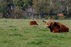 Schotse Hooglander in Nederland royalty-vrije stock fotografie