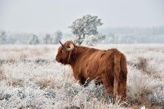 Schotse Hooglander in sneeuw stock afbeelding