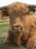 Schotse Hooglander, vaca das montanhas foto de stock royalty free