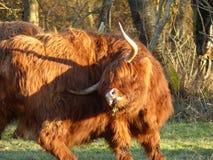 Schotse Hooglander in wintertijd in Holland stock afbeelding