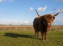 Schotse Hooglanderkoe Stock Afbeelding