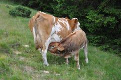 Schotse hooglandkalf en koe Royalty-vrije Stock Foto's