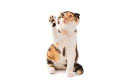 Schotse kat stock afbeelding