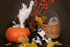 Schotse kat drie met pompoen. Stock Foto