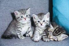 Schotse katjes Gestreepte leuke katjes Katjes Stock Afbeeldingen