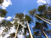 Schotse pijnboom Stock Afbeeldingen