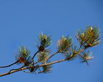 Schotse Pijnboomtak tegen blauwe hemel stock foto