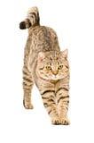 Schotse Rechte kat die zich uitrekt Stock Afbeeldingen