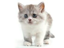 Schotse rechte rassen jonge pussycat stock afbeeldingen