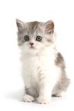 Schotse rechte rassen jonge pussycat royalty-vrije stock foto