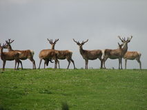 Schotse Rode Herten Royalty-vrije Stock Afbeelding