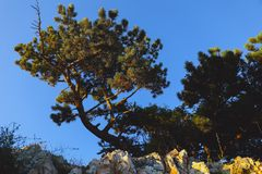 Schotse spar op de rotsachtige muur in Kroatië, de zomermening stock afbeeldingen