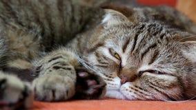 Schotse Vouwen Cat Laying op een Bank, die aan de camera kijken stock video