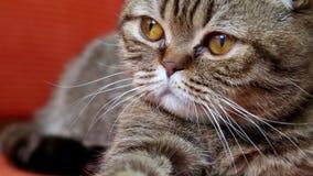Schotse Vouwen Cat Laying op een Bank, die aan de camera kijken stock footage