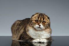Schotse Vouwen Cat Looking in camera en Leugens op Grijs stock afbeelding