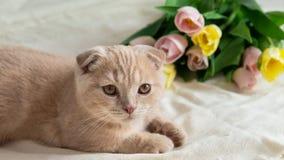 Schotse vouwen die dichtbij roze tulpen liggen Katje met bloemen Concept van de vakantie het gelukkige verjaardag royalty-vrije stock afbeeldingen