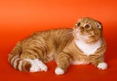 Schotse vouwenkat op een oranje achtergrond. Royalty-vrije Stock Foto's