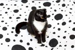 Schotse vouwenkat op een wit en zwart bed royalty-vrije stock afbeeldingen
