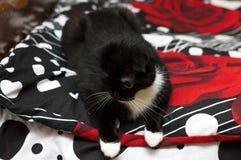 Schotse vouwenkat op een zwart en rood bed stock fotografie