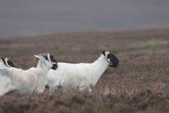 Schotse zwarte onder ogen gezien schapen die met achtergrond, portretten weiden Stock Afbeelding