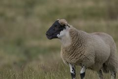 Schotse zwarte onder ogen gezien schapen die met achtergrond, portretten weiden Royalty-vrije Stock Afbeeldingen