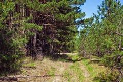 Schotterweg in einem Kiefernwald Stockfotografie