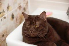 Schottisch-gerade braune Schokoladenkatze liegt in der Schüssel des Waschbeckens Stockfoto