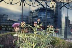 Schottische Distel-Blüten-Blume an der Terrasse stockfotografie