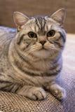 Schottische gerade Katze Stockfoto