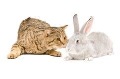 Schottische gerade Katze, die graues Kaninchen schnüffelt Stockfotografie