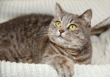 Schottische Grey Cute Cat sitzt in der gestrickten weißen Strickjacke Lizenzfreies Stockbild