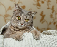 Schottische Grey Cute Cat sitzt in der gestrickten weißen Strickjacke Lustiger Blick Tierfauna, interessantes Haustier Stockfotografie