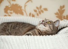 Schottische Grey Cute Cat spielt in der gestrickten weißen Strickjacke Lizenzfreies Stockfoto