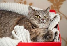Schottische Grey Cute Funny Cat liegt im gestrickten weißen Swe Stockfotos