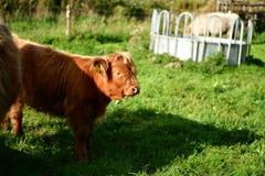 Schottische Hochländerkuh mit dem jungen, langen Haar lizenzfreies stockbild