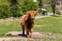 Schottische Hochland-Kuh auf der Wiese Stockfotografie