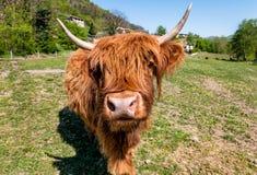 Schottische Hochland-Kuh auf der Wiese Stockfotos