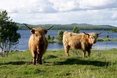 Schottische Hochlandkühe auf Weide Stockfotos