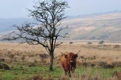 Schottische Hochlandkuhstellung nahe bei einem Baum lizenzfreie stockbilder