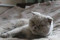 Schottische Katze Stockbild