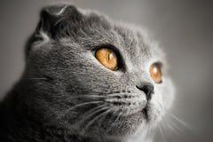 Schottische Katze Lizenzfreies Stockfoto