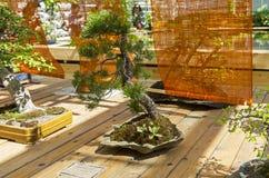 Schottische Kiefer - Bonsai im Stil u. x22; Verbogen durch das wind& x22; Stockbilder